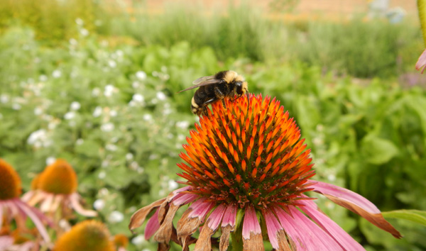 Bumble bee on a purple coneflower at Headwaters Farm