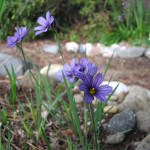 blue-eyed grass (Sisyrinchium idahoense)