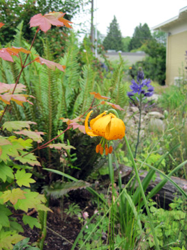a Tiger lily, vine maple and other native plants in a naturescaped yard