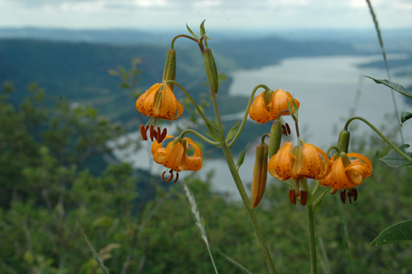 tiger lilies in the Columbia Gorge