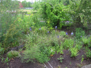 Two large rain gardens in the EMSWCD yard help collect stormwater runoff from the roof